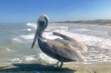 Pelican St. Augustine Beach, Florida